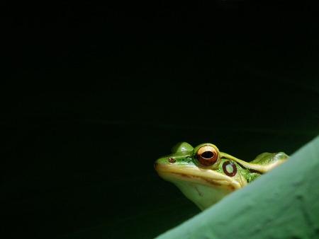 poison dart: greenfrog