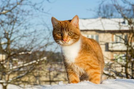 foxy: foxy cat in the snow