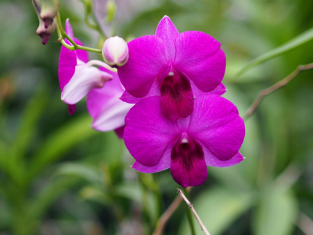 Beautiful closeup of purple orchid. (selected focus) 免版税图像