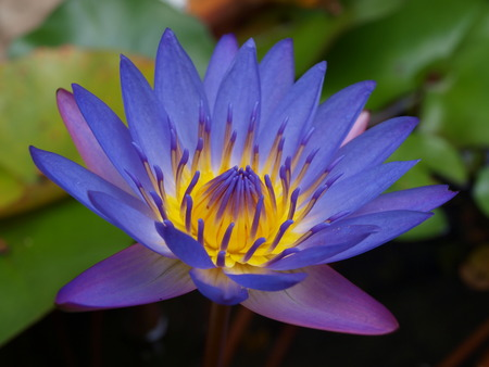 nymphaea: Beautiful lotus in the pond