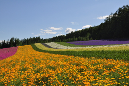 Beautiful flower field on the hill at Furano, Hokkaido, Japan.