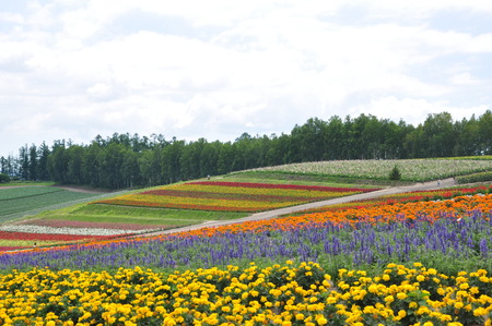 Beautiful flower field on the hill at Biei, Hokkaido, Japan. photo