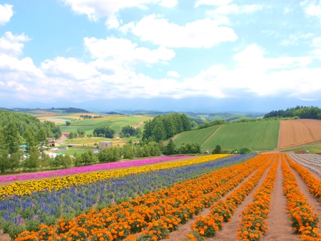 biei: Beautiful flower field on the hill at Biei, Hokkaido, Japan. Stock Photo