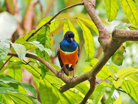 roosting: Superb Starling (Lamprotornis superbus) roosting on branch. Stock Photo