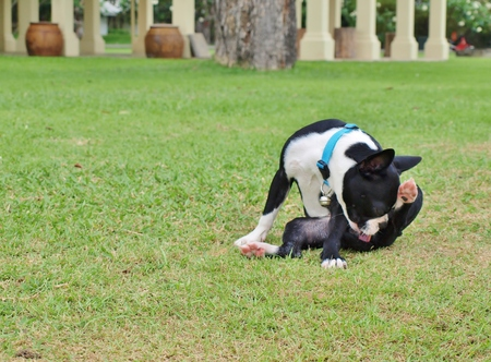 funny boston terrier: Boston Terrier on the green grass, focus on dog head. For copy space on left side. Stock Photo