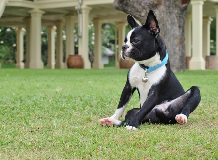 funny boston terrier: Boston Terrier on the green grass, focus on dog face. For copy space on left side. Stock Photo