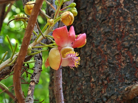 originated: Couroupita guianensis known as Cannonball Tree is a large deciduous tree. Originated in South America.