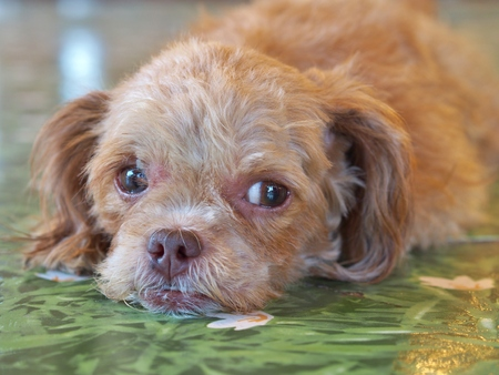 miniature poodle: Brown Miniature Poodle dog lying on the green floor tiles and waiting for someone, looking lonely. selective focus at left eye. Stock Photo