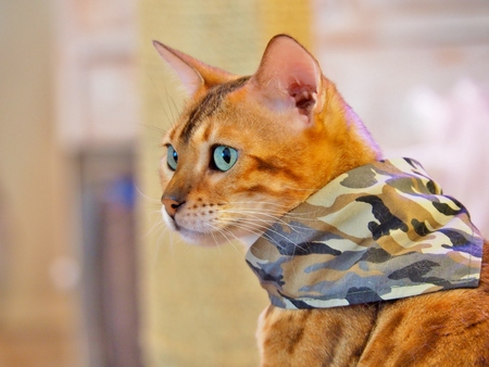 Bengal Cat in a camouflage scarf looking to something. Stock Photo