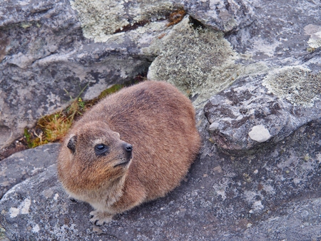 rotund: rock hyrax or dassie on the rock on Table Mountain in Cape Town, South Africa. Selective Focus.