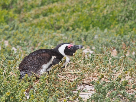 African penguin lying down on the ground at Boulders Beach in Cape town, South Africa. African penguin ( Spheniscus demersus) also known as the jackass penguin and black-footed penguin. Stock Photo