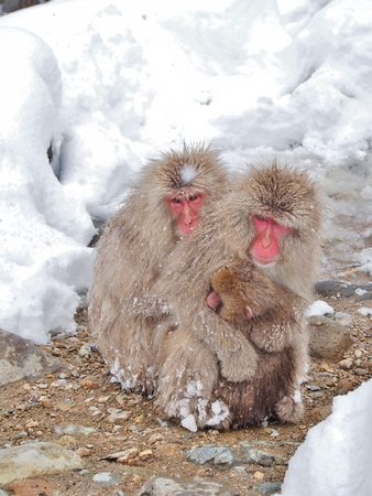 Mother Japanese macaque snow monkey cuddling her baby in the cold near hot spring onsen at Jigokudani Monkey Park, Nagano prefecture, Japan. Stock Photo