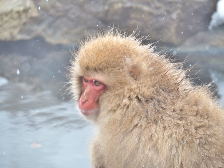 Portrait of a Japanese macaque (snow monkey) in hot spring onsen at Jigokudani Monkey Park in Nagano Prefecture, Japan.