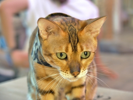 Bengal Cat in a camouflage scarf looking to something. Stok Fotoğraf
