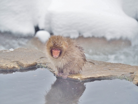 Portrait of Baby Japanese macaque (Snow Monkey) at the edge of the hot spring pool (Onsen) at Jigokudani Monkey Park in Nagano prefecture, Japan. Cute and Nature concept.