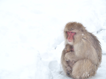 Mother Japanese macaque snow monkey cuddling her baby and sitting on the snow floor near hot spring onsen at Jigokudani Monkey Park, Nagano prefecture, Japan.