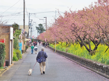 Kawazu, Japan - February 23, 2017: People walking on romantic pathway of beautiful Cherry Blossom - Sakura. Kawazu in Shizuoka Prefecture is famous area as the place for early-blooming Cherry Blossom. Editöryel