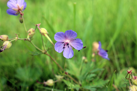 Meadow geranium. Flowering geranium with lilac flowers among the grass. Medicinal plant.