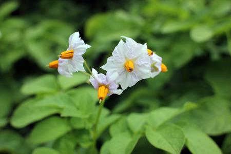 White flowers of potatoes flowering bush potatoes stock photo stock photo white flowers of potatoes flowering bush potatoes mightylinksfo