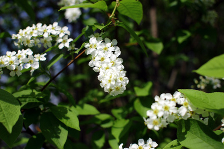 Blossoming bird cherry. Natural spring background with branches of white bird cherry. Imagens