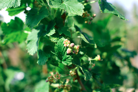 Black currant bush with buds. Branch of black currant with leaves and buds in  spring garden. Imagens