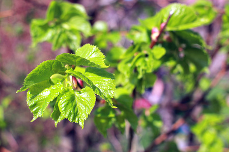 Young leaves of linden. Sunny spring background with blossoming linden. Imagens