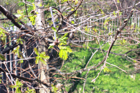 Young oak leaves. Sunny spring background with blossoming oak leaves. Imagens