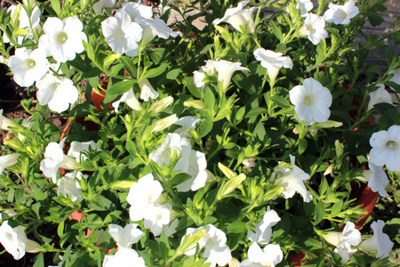 White petunia flowers. Spring, summer background with delicate petunia flowers.