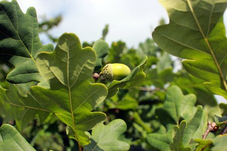 Branch of  oak with acorns. Close-up. Oak tree with leaves and acorns on  summer day.