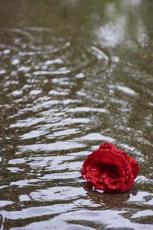 Rosebloom met regendruppels ligt in de regen in een plas