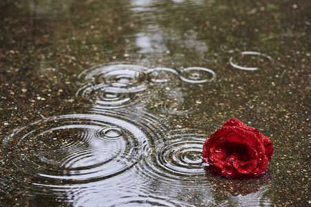 A red rose bloom is in rainy weather in a puddle. In the puddle are circular waves of raindrops