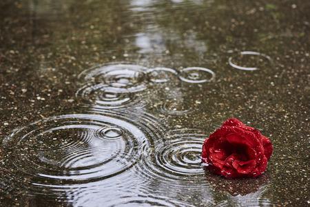 Eine rote Rosenblüte ist im regnerischen Wetter in einer Pfütze. In der Pfütze sind kreisförmige Wellen von Regentropfen