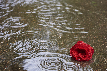 A red rose blossom lies in the water and it rains.