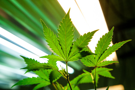 rimmed: Backlit marijuana leaves in an indoor grow facility. The grow lights are visible in the background and the leaves are rimmed with light. Stock Photo