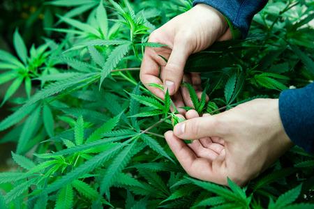 Boer inspecteren van zijn medische marihuana planten in een overdekte kweekruimte Stockfoto