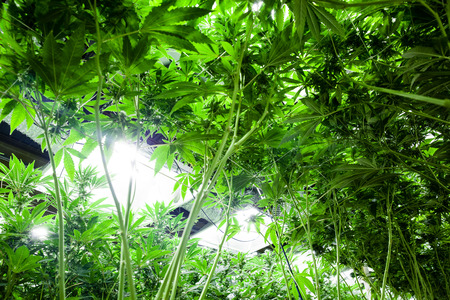 artificial lights: Medical marijuana in an indoor grow facility. the artificial lights are visible in the background. Stock Photo