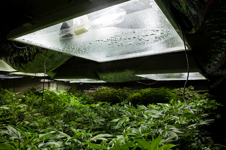 Marijuana grow room with a High Pressure Sodium HPS light bulb