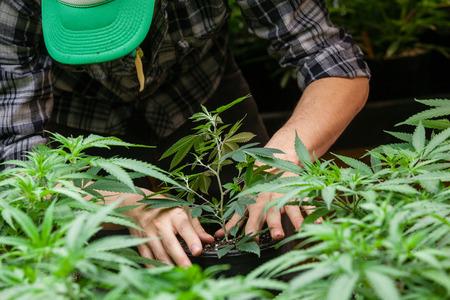 een boer zet zijn marihuana planten in de bodem Stockfoto