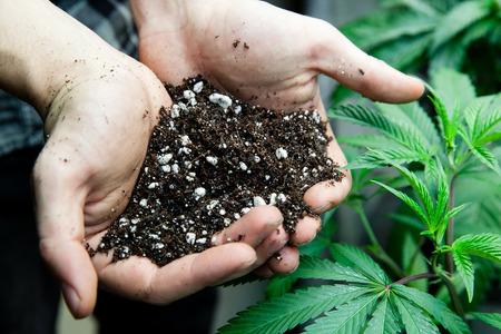 marihuana: los agricultores con un suelo rico para sus plantas de marihuana Foto de archivo