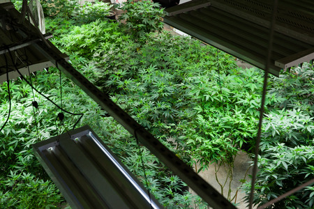 Indoor Marijuana grow room from above