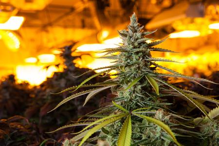실내 마리화나는 불빛 아래에서 꽃 봉오리. 이 이미지는 마리화나를 재배하는 데 필요한 따뜻한 빛을 보여줍니다.