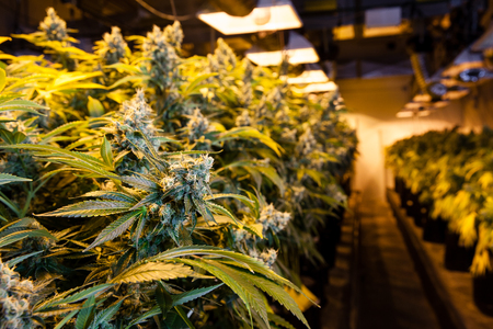 cultivation: Indoor Marijuana bud under lights. This image shows the warm lights needed to cultivate marijuana.