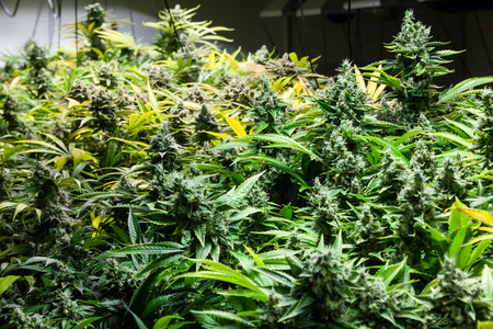 recreational: Indoor Marijuana bud under lights, ready for harvest