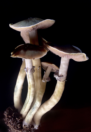 psilocybe cubensis - fresh magic mushrooms in soil