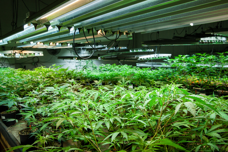 Legal cannabis grow room series - Marijuana growing and cultivation small plants in the early stage of growth under lights Banco de Imagens
