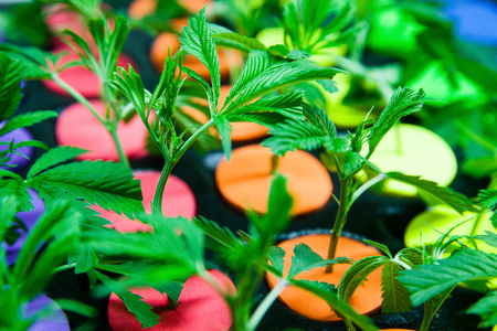 Legal cannabis grow room series - Marijuana growing and cultivation small clones