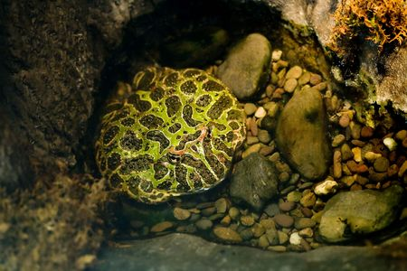 wierd: Strange flat frog sitting in a pool of water Stock Photo