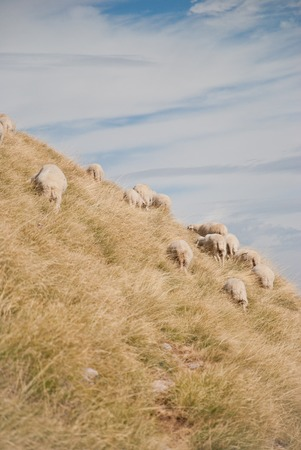 shepperd: Flock of sheep