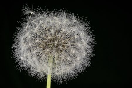 Dandelion blowball.