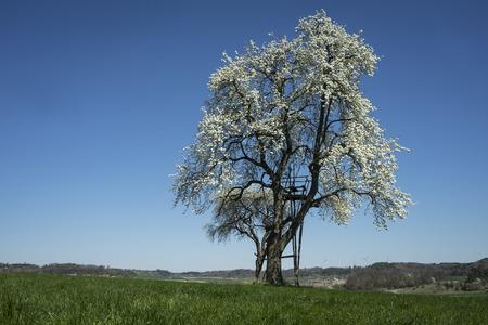 Blooming pear tree.